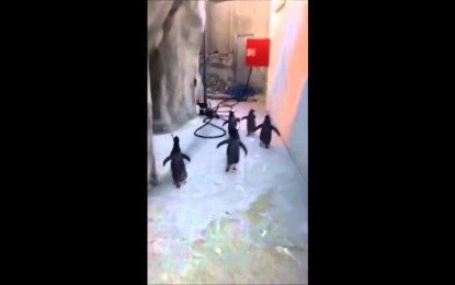 'Game over': La fallida fuga de pingüinos de zoo